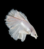 siamese fighting fish, betta splendens isolated on black