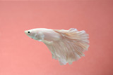 siamese fighting fish, betta splendors isolated on black
