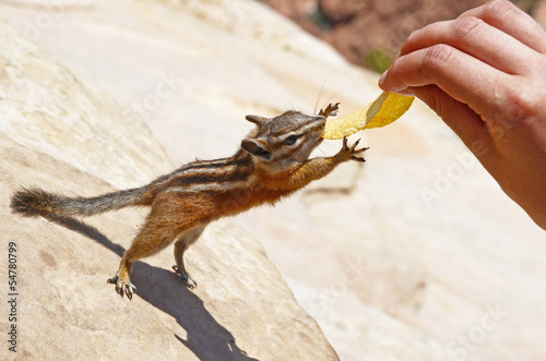Chipmunk reaching out for a potato chip