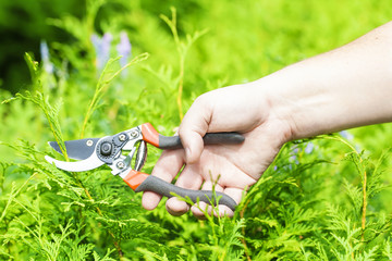 Hand  with gardener shears near thuja