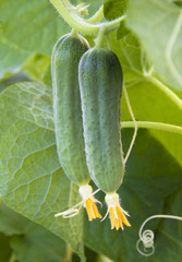 young Cucumber in the garden