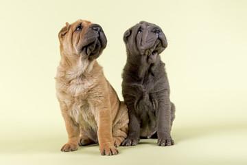 Hunde-Shar-Pei-9093