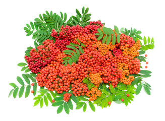 ripe rowan berries and leaves isolated on white background