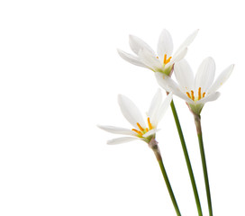 white lilies on a white background. zephyranthes candida