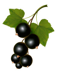 Black currants with leaves. Vector