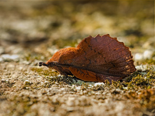 Lappet moth - Gastropacha quercifolia
