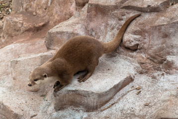 Otter on the rocks