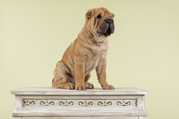 Hunde-Shar-Pei-9198