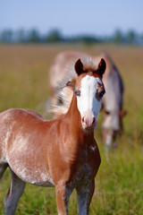 Portrait of a foal on a pasture.