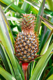 ripe pineapple growing in the field