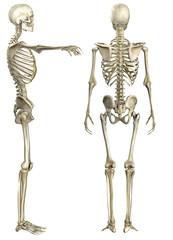 Anatomische Darstellung menschliches Skelett 2