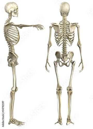 GamesAgeddon - Anatomische Darstellung menschliches Skelett 2 ...