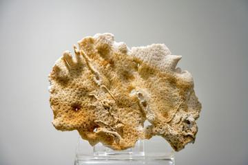 Museum specimen of fossilized coral