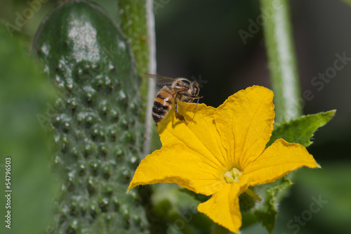 Bee and cucumber flower.