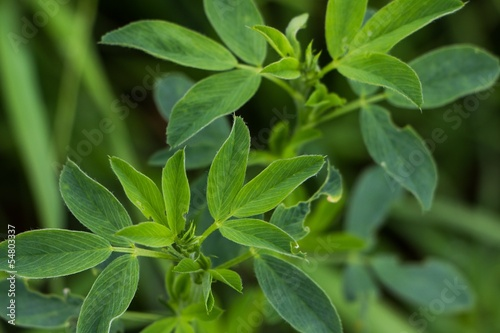 Lucerne plant close-up