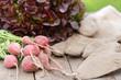 Erntefrische Radieschen und Eichblattsalat