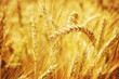 Closeup on golden wheat field
