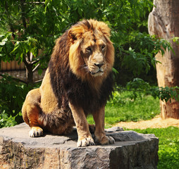 The prisoner lion