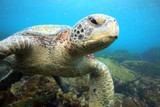 Sea turtle relaxing underwater in tropical ocean lagoon