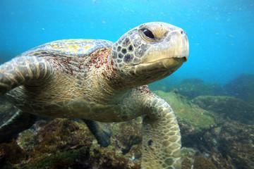 Sea turtle relaxing underwater in tropical ocean lagoon