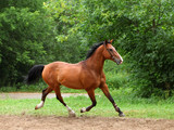 Beautiful sorrel horse walks in corral