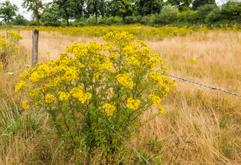 Yellow flowering Ragwort and barbed wire