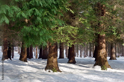 pine forest with snow in winter