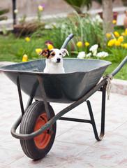 Jack Russell sitting in wheelbarrow