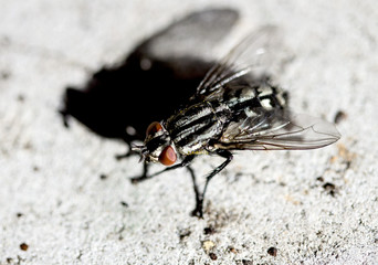Common house fly macro