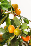 mandarins on the branch
