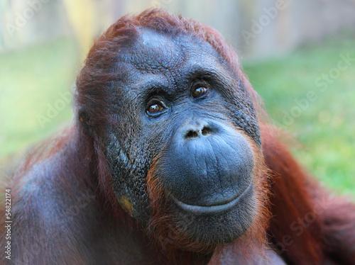 Foto op Canvas Aap Happy smile of The Bornean orangutan (Pongo pygmaeus).