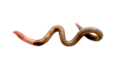 Close  up of earthworm