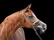 portret konia arabskiego