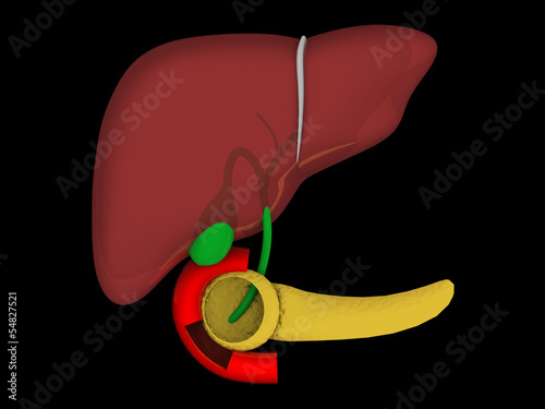 Liver. Structure of the human liver