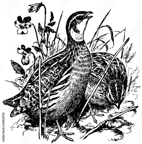 Bird Common Quail