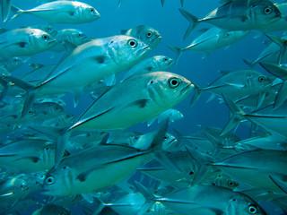 Carangidi Maldive
