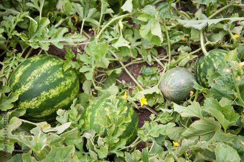 Watermelon and melon