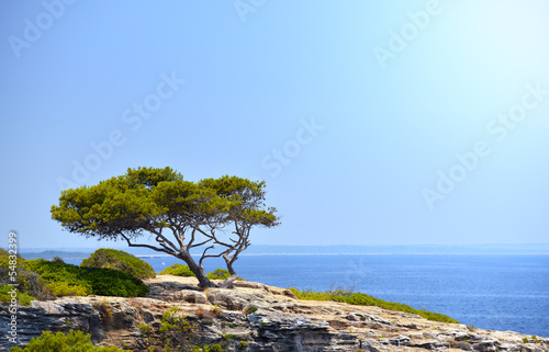 Lonely Tree on the Rock in the Sunshine in Mallorca, Spain