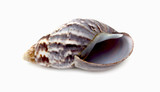 sea shell closeup isolated on white