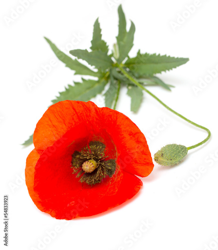 One red poppy with green leaves isolated on white background