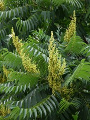 yellow flowers of sumac tree