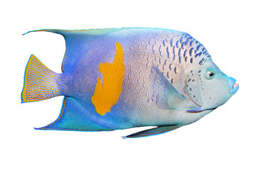 The Angelfish (Pomacanthus).