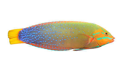 The Green Wrasse (Thalassoma Lunare).