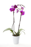 Phalaenopsis orchid in flower pot
