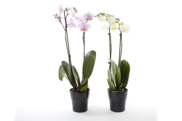 Phalaenopsis orchids in flower pot