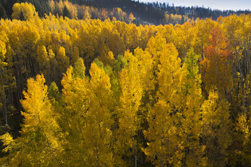 Aerial View of Golden Aspen Trees In Vail Colorado