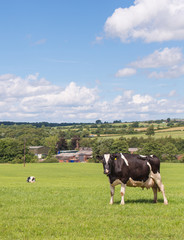 holstein cow in field