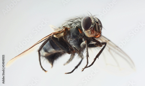 Musca Domestica Magnification