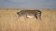 Cape Mountain Zebra walking in grassland