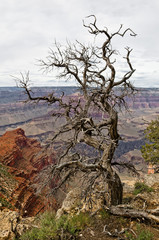 Grand Canyon - Alter Baum